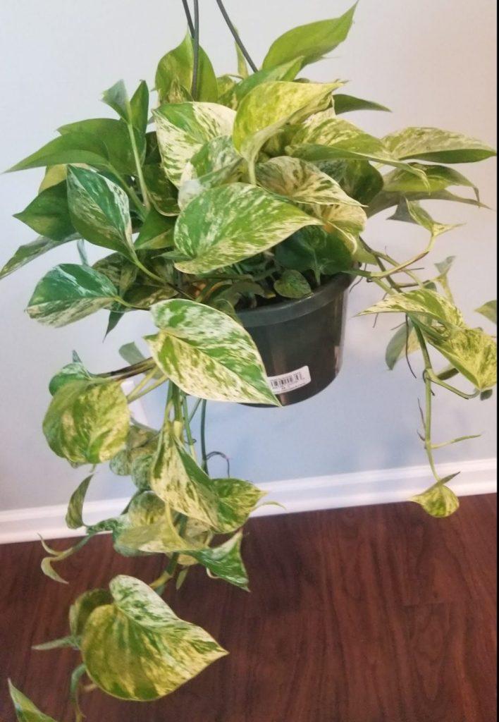 golden pothos vining houseplant easy to grow indoor plant
