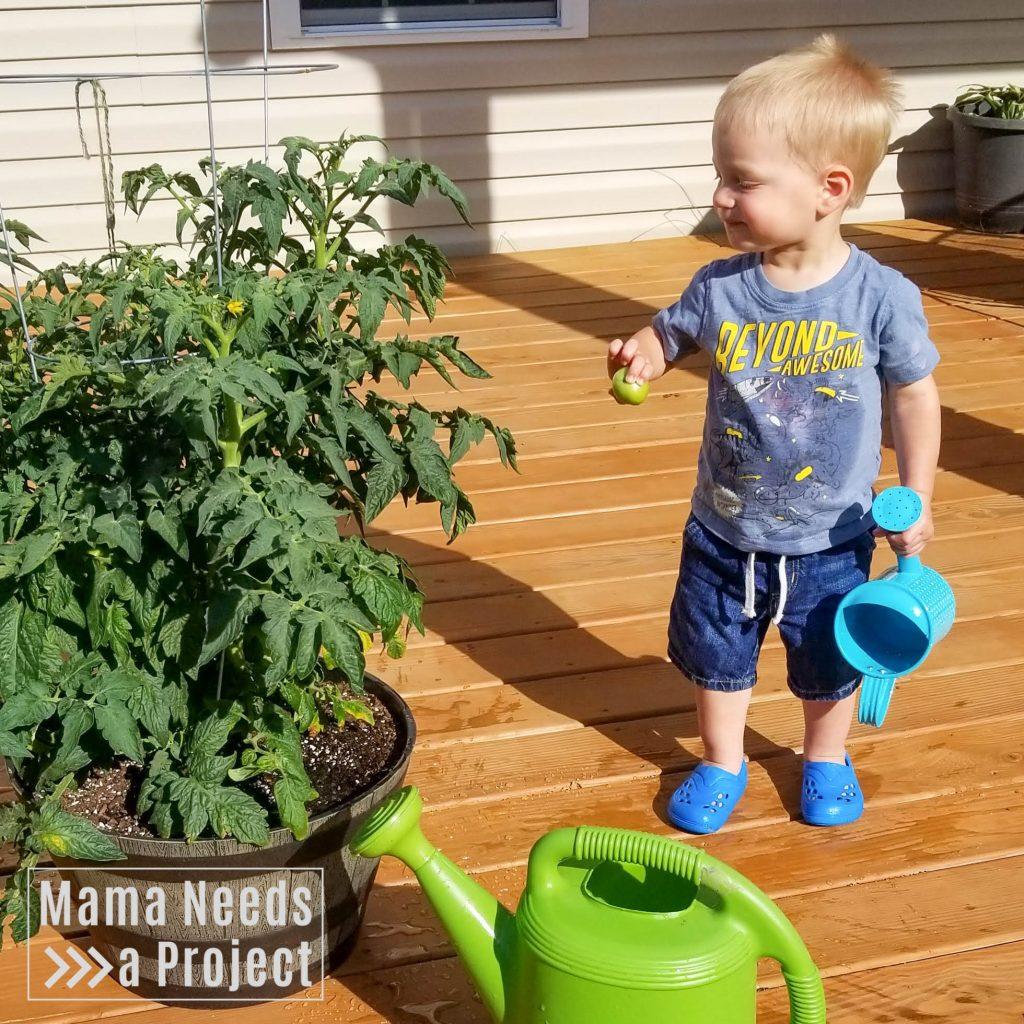 gardening with a toddler, toddler picking tomatoes