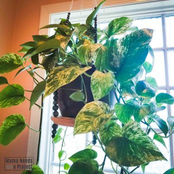 pothos plant on hanging plant shelf in front of bright window