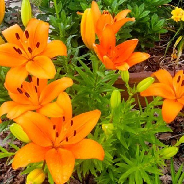 orange asiatic lilies blooming in a DIY raised flower bed